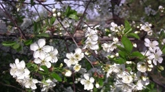 Cherry blossom branches with small white flowers, spring garden. Sprigs are  Stock Footage
