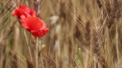Close-up red poppies and golden wheat ears in the wind  Stock Footage