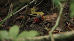 Red Land Crab Scurries over Jungle Floor Stock Footage