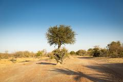 Acacia Tree Botswana Africa - stock photo