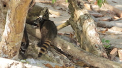 Racoons Eating Trash on a Beach Stock Footage