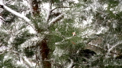 The Branch of Spruce And Snow. Stock Footage