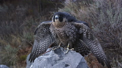 Tethered peregrine falcon perched on a rock. - stock footage