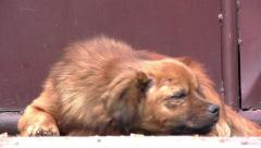 Dog with reddish fur with black, sitting still lying near a gate on the street  Stock Footage