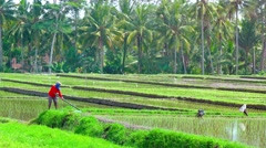 Agricultural laborer at work on a rice plantation in Bali. UltraHD video Stock Footage