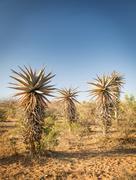 Aloe Vera Trees Botswana Africa - stock photo