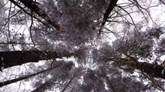 Stock Video Footage of Winter Forest. Trees under snow. Beautiful rime on branches of trees. 4K.
