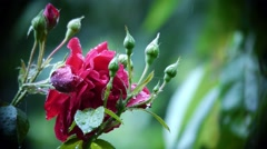 Pink roses have bloomed in the garden. Their petals with raindrops  Stock Footage