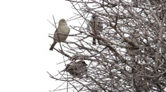 Sparrow sitting on a branch in a tree, and then they fly. As the sparrows  Stock Footage