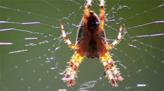 Spider on cobweb. Araneae (spiders) is the largest order of arachnids  Stock Footage