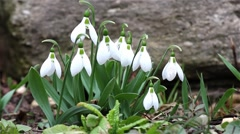 Snowdrops gentle garden in the wind hot spring  Stock Footage