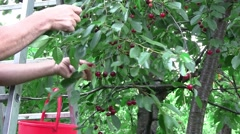 Sour cherries were ripe. A man took a bucket, climbed on the scale and reap  Stock Footage