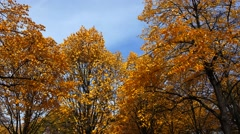 Poplar tree with yellow leaves. 4K. Stock Footage