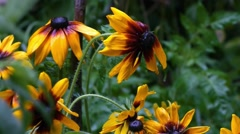 Rudbeckia is a plant genus of the family Asteraceae, represented by 23 specie  Stock Footage