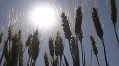 4K Wheat Ears in Sun Rays, Cereals Crop Field, Grains Harvest View, Agriculture Stock Footage