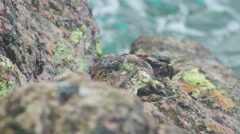 Crab and rockskipper on the rock at the beach Stock Footage