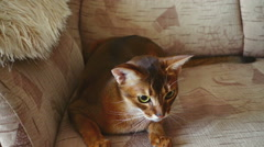 Abyssinian cat playing Stock Footage