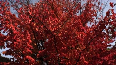 Red leaves of the bird-cherry tree. 4K. Stock Footage