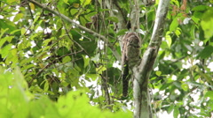 Common Potoo, Stick Bird in tree Stock Footage