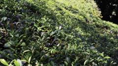 Beautiful landscape at tea plantation Stock Footage