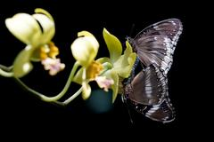two butterflies mating on the flower - stock photo