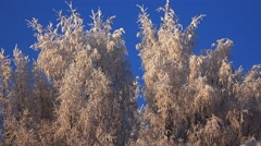 Stock Video Footage of Winter Forest. Rime on trees against a blue sky. Trees under snow. 4K.