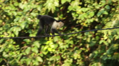 Monkey climbs across wire 2 Stock Footage