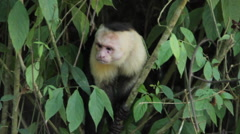 White-headed Capuchin Monkey 2 Stock Footage