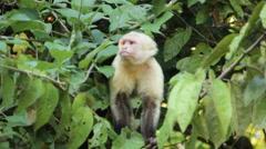 White-headed Capuchin Monkey Stock Footage