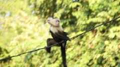 Monkey carries baby across wire Stock Footage