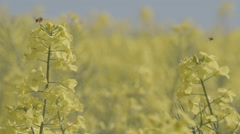 Oilseed Rape Swaying In The Wind - stock footage
