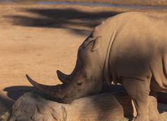 White African rhinoceros - stock photo