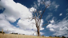 Creepy Dead Tree Amongst Yellow grass In Paddock with Blue Sky Stock Footage