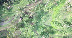 Stock Video Footage of 4K OVERHEAD L2R SHOT OF RICE TERRACES AND PALM TREES IN BALI