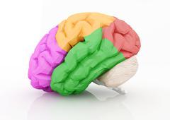 Human brain isolated on white. - stock illustration