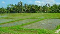 Lowland Rice Plantation in Southeast Asia. Video 1920x1080 - stock footage