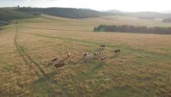 Cattle graze on the open meadows. Herd of cows, bulls, calf and oxen on pasture Stock Footage