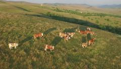 Cows and bulls on hill with beautiful landscapes in the background and sun glare Stock Footage