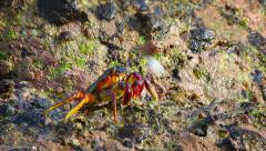 Crab Foraging in the Rocks, Splashed by Sea Spray. FullHD video Stock Footage