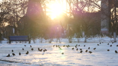 The Rooks Have Come in winter bird walk on the snow in sunset light haze - stock footage
