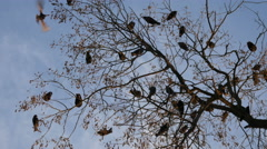 The Rooks Have Come silhouettes of birds on tree branches against sky - stock footage