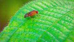 Extreme Closeup of a Tiny Fruit Fly on a Leaf. FullHD video - stock footage