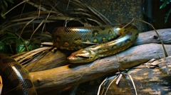 Green Anaconda at a Public Zoo. Video 1080p Stock Footage