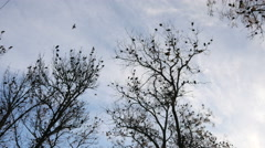 The Rooks Have Come silhouettes of birds on tree branches Stock Footage