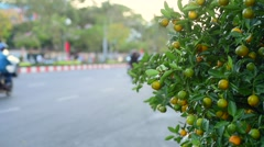 Kumquat or Fortunella, mandarin chinese tree in the garden - stock footage
