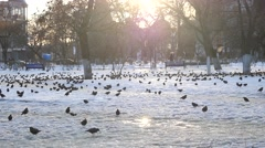 The Rooks Have Come in winter bird walk on the snow - stock footage