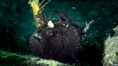 Black Hairy Frogfish turning Stock Footage