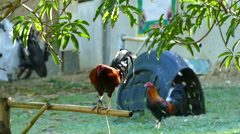 Rooster crowing Stock Footage