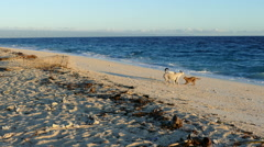 Dogs playing at the beach of Balicasag Island Stock Footage