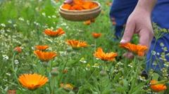 Marigold herb blooms and gardener hands pick in wicker dish. 4K Stock Footage